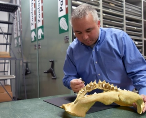 Man with grey short hair in a blue shirt examining shark jaw in a museum storage